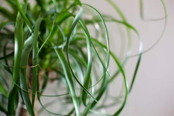 picture of ponytail palm plant