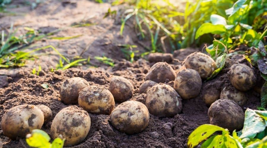 Picture of harvested potatoes