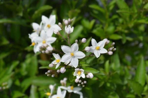 Picture of white potato vine flower