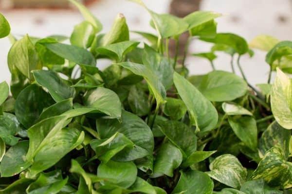 Picture of Pothos plant