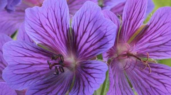 Picture of purple geranium