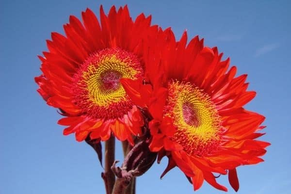 picture of red sunflowers