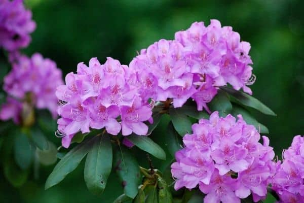 Picture of Rhododendron