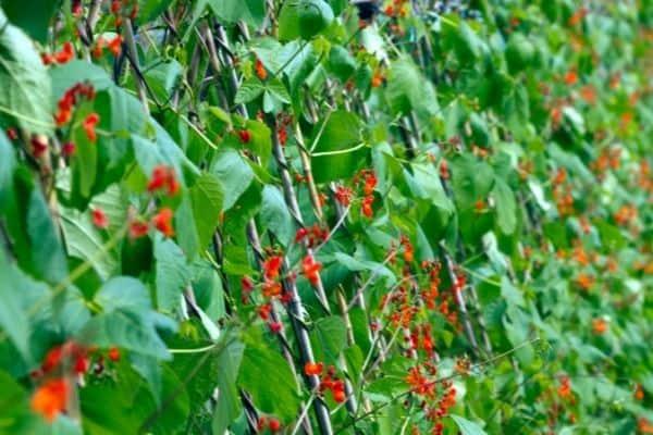 Picture of Runner Bean flower