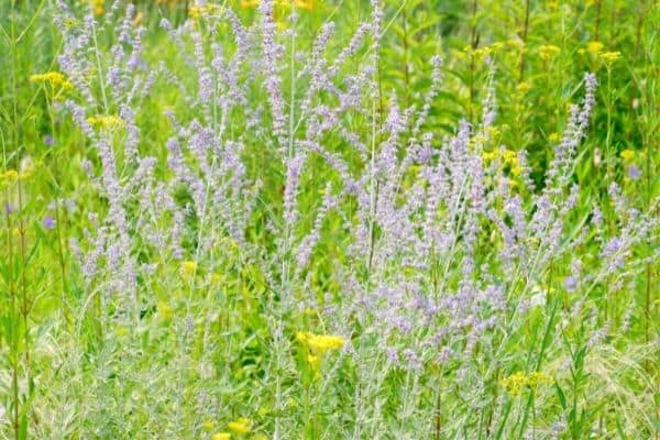 Picture of russian sage