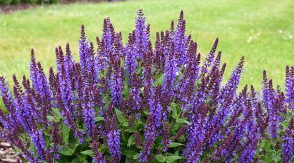 Picture of purple salvia