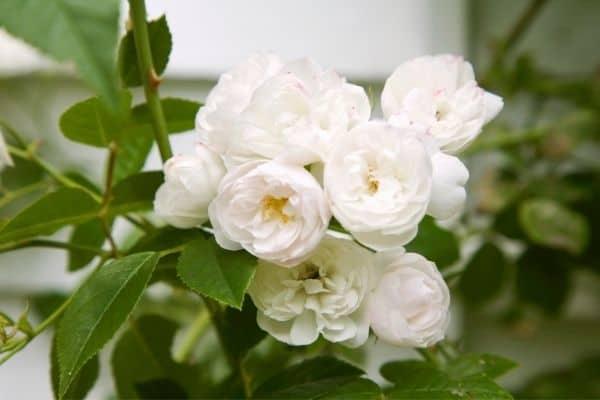 Picture of white shrub roses