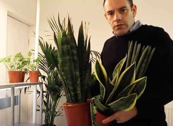 Tony O'Neill with a trio of snake plants
