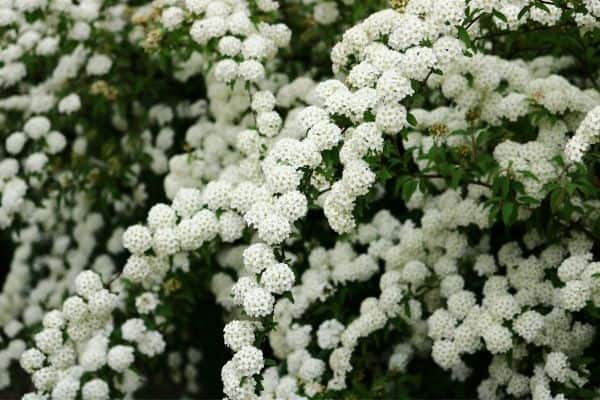 Picture of spirea