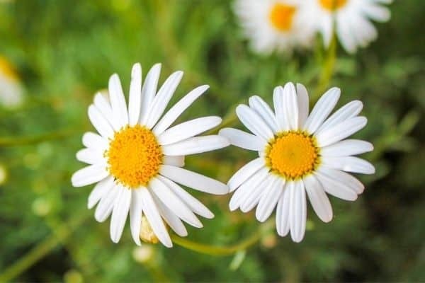 white Sunflower 'Coconut Ice'