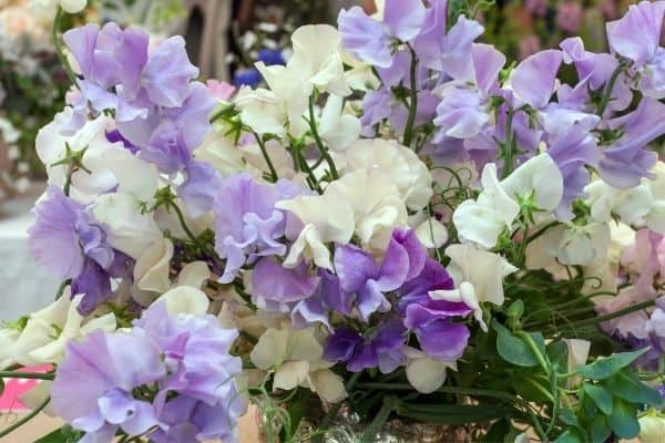 Picture of sweet pea flower