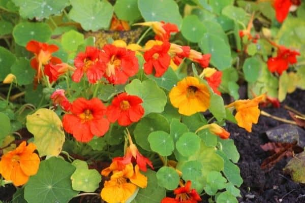 Picture of Trailing and Climbing Nasturtiums