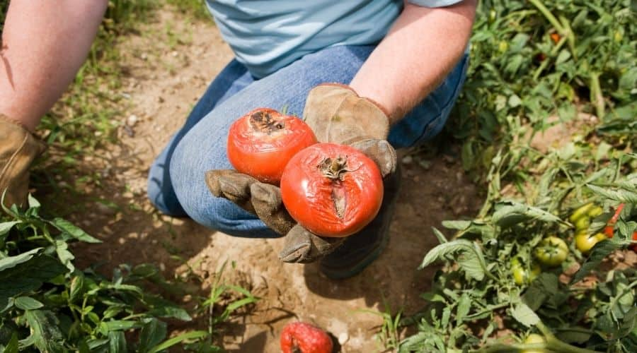 2 tomatoes with blight