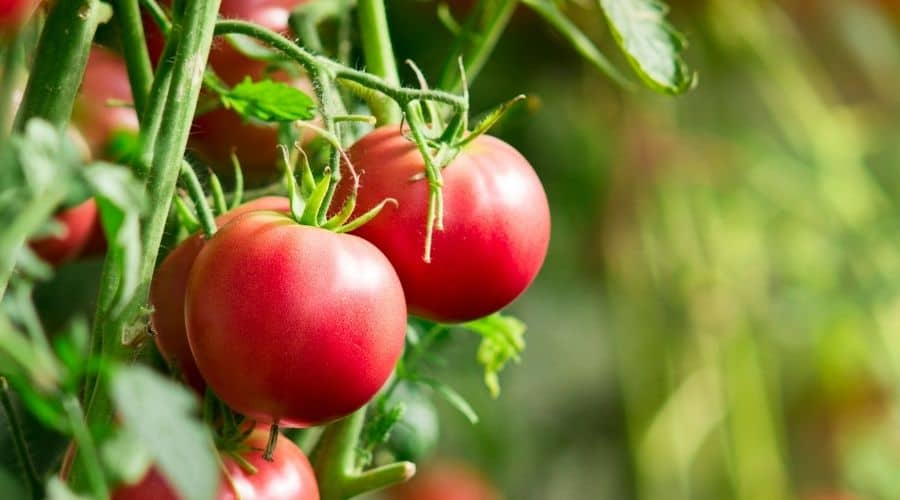 two red tomatoes on the plant