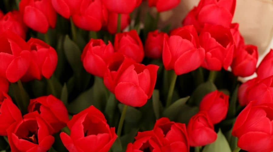 picture of red flowers