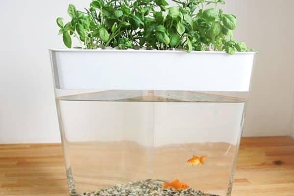 goldfish in a hydroponics system