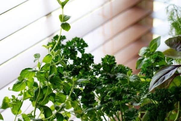 herbs in a windowsill