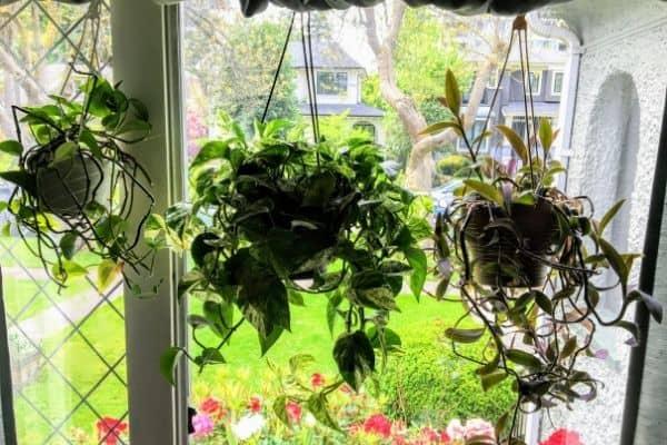 hanging houseplants in window
