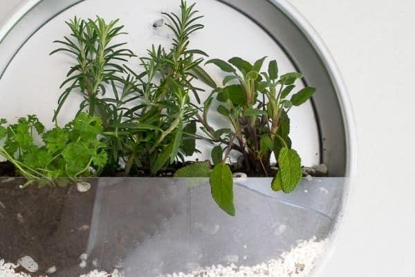 herbs in metal planter