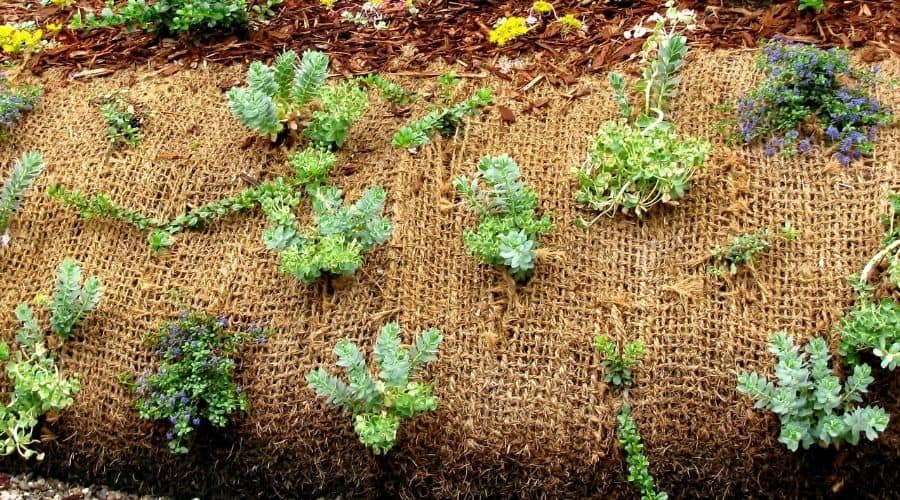 hassian mulch with plamts