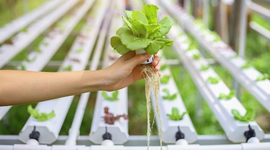 lettuce harvested from aquaponic system