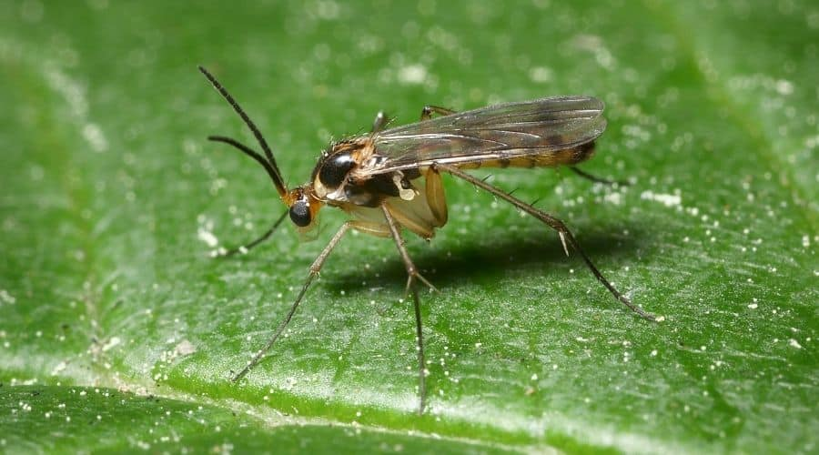 Picture of a Fungus Gnat resting on a leaf