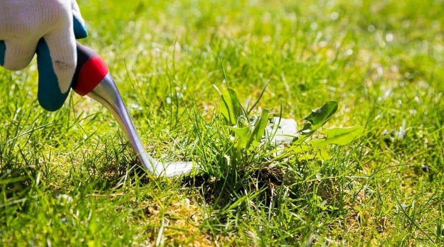Picture of a weed pulling tool pulling weed from the lawn