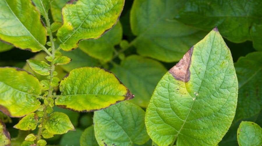 Picture of Potato leaves showing the first signs of potato blight