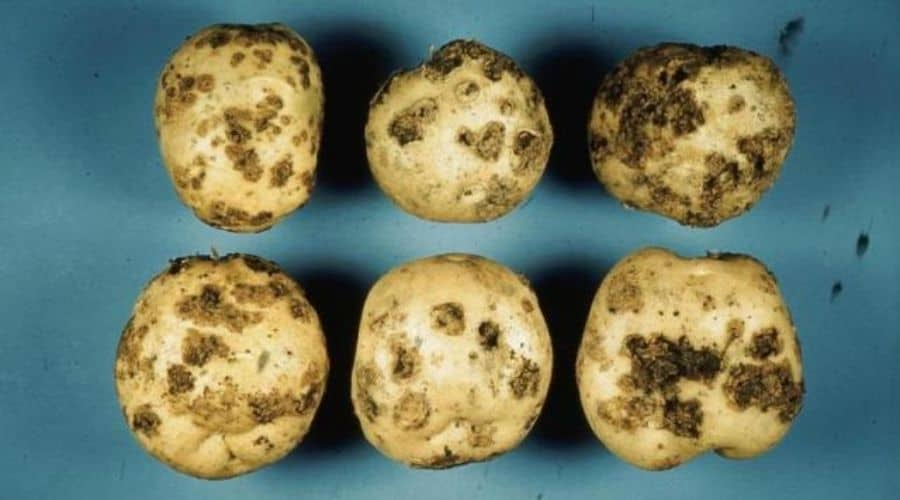 Picture of potatoes with potato blight