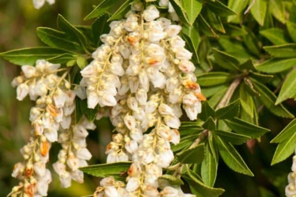 Picture of variegated japanese pieris