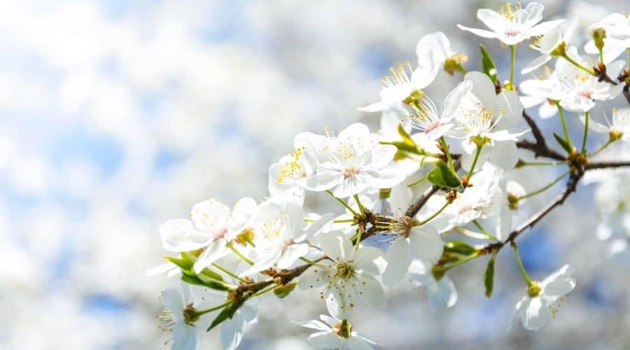 white flowering plants