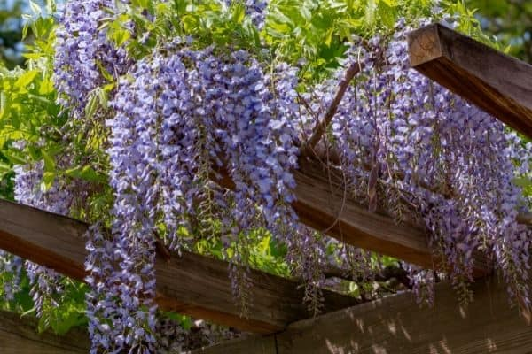 picture of hanging wisteria from its vine