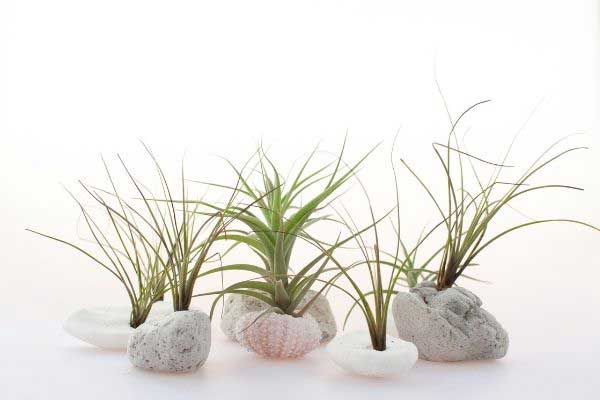 air plants growing on stones