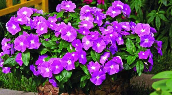 Picture of purple vinca flowers