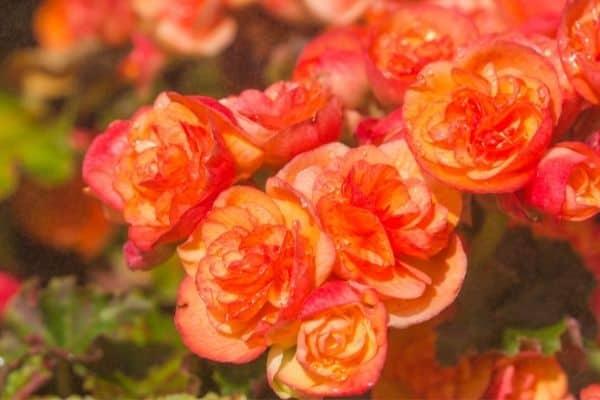 Picture of Orange Begonia