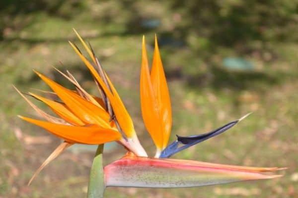 Picture of Orange Bird of Paradise