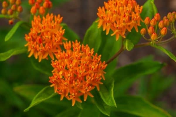 PIcture of Orange Butterfly weed