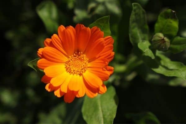 Picture of Orange Calendula