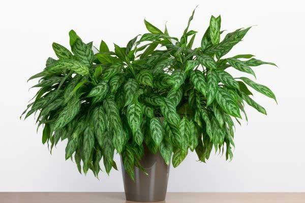 Chinese evergreenin tall pot