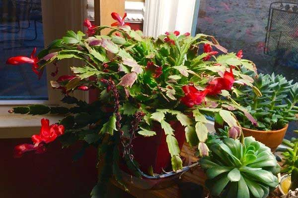 christmas cactus in a window sill
