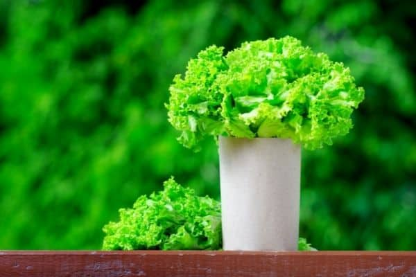 lettuce in tall grow bag