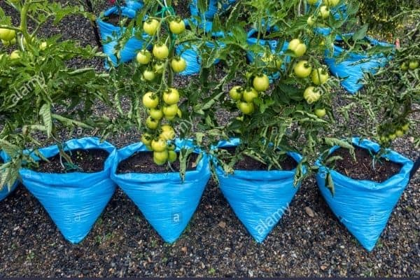 tomatoes in blue grow bags