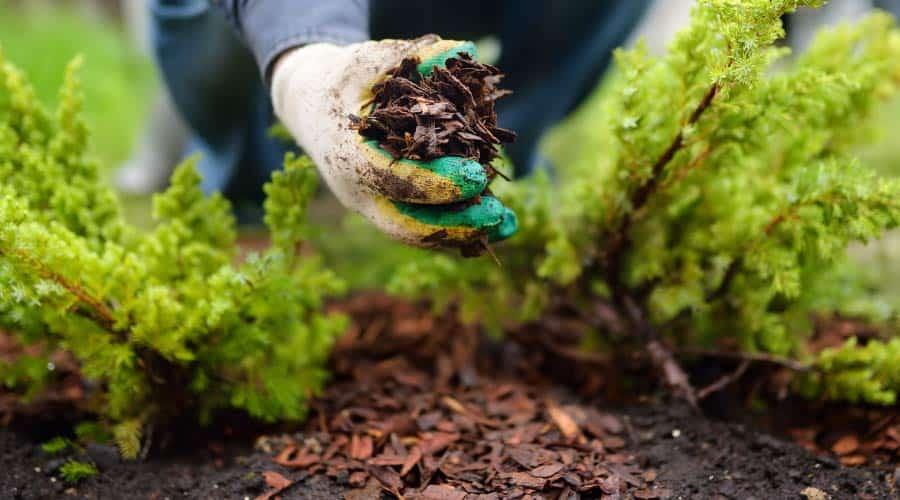placing bark mulch around conifers