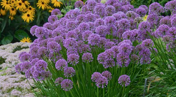 Picture of purple alliums