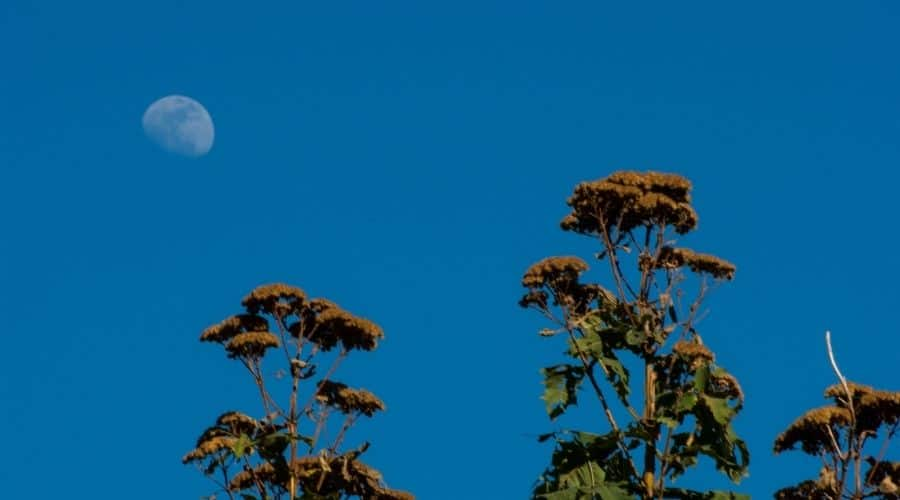 Picture of plant with a moon in background