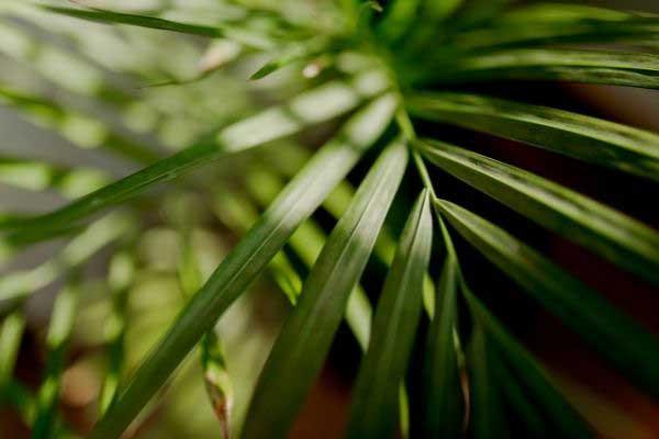 Palour Palm
