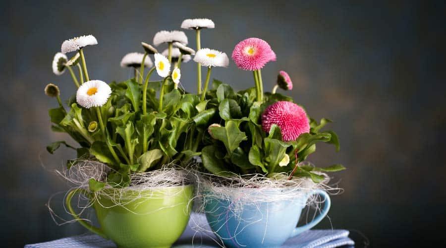 flowers in tea cups