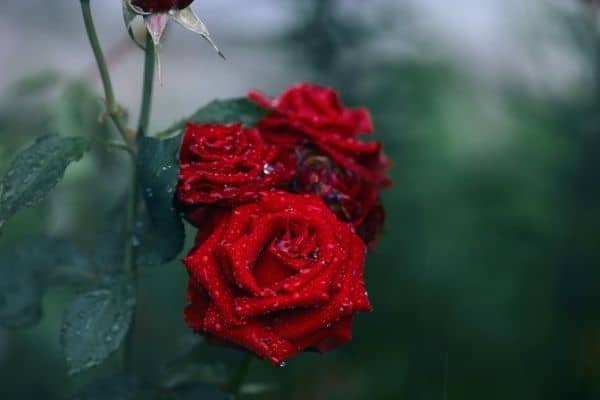 picture of red roses flowers
