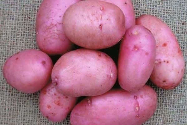 picture of sarpo mira potatoes