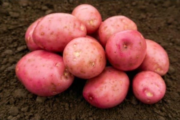 picture of setanta potatoes